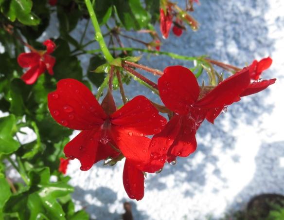 Raindrops on geraniums 1