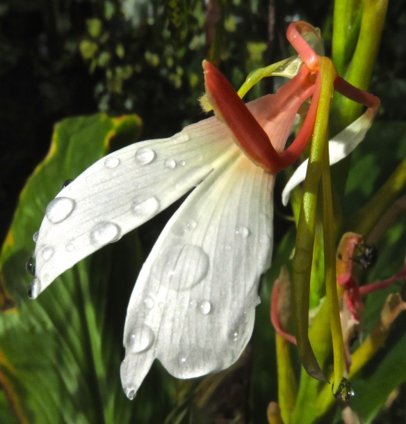 Raindrops on Ginger lily