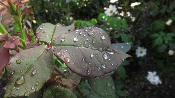 Raindrops on leaves of rose Deep Secret
