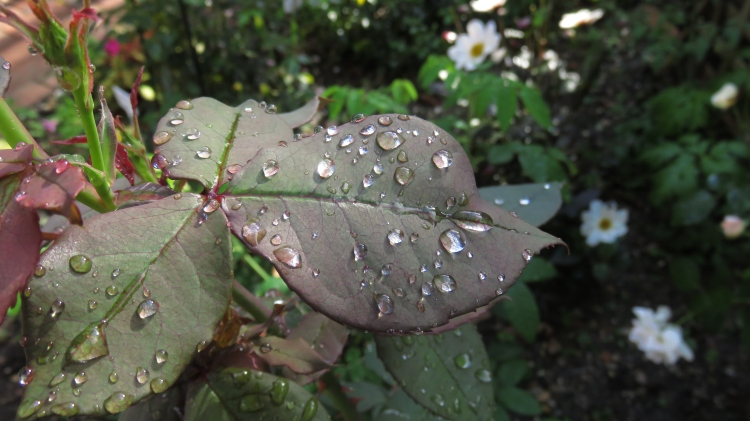Raindrops on leaves of rose Deep Secret