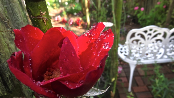 Raindrops on rose Altissimo