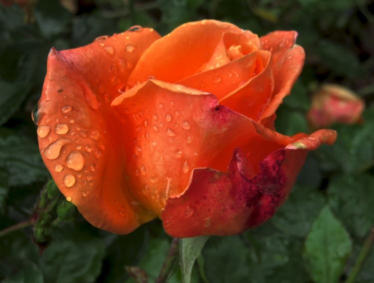 Raindrops on rose Mamma Mia