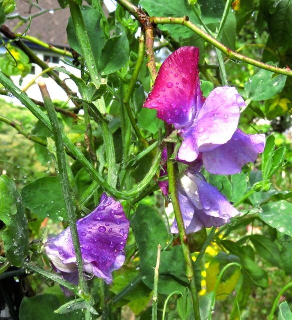 Raindrops on sweet peas