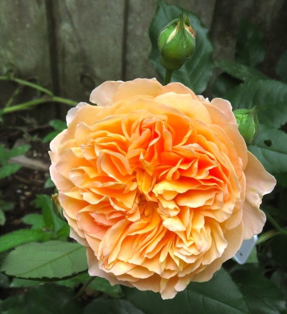 Rose Crown Prince Margareta