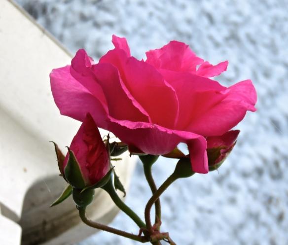 Rose magenta climber