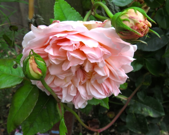 Rose Shropshire Lad