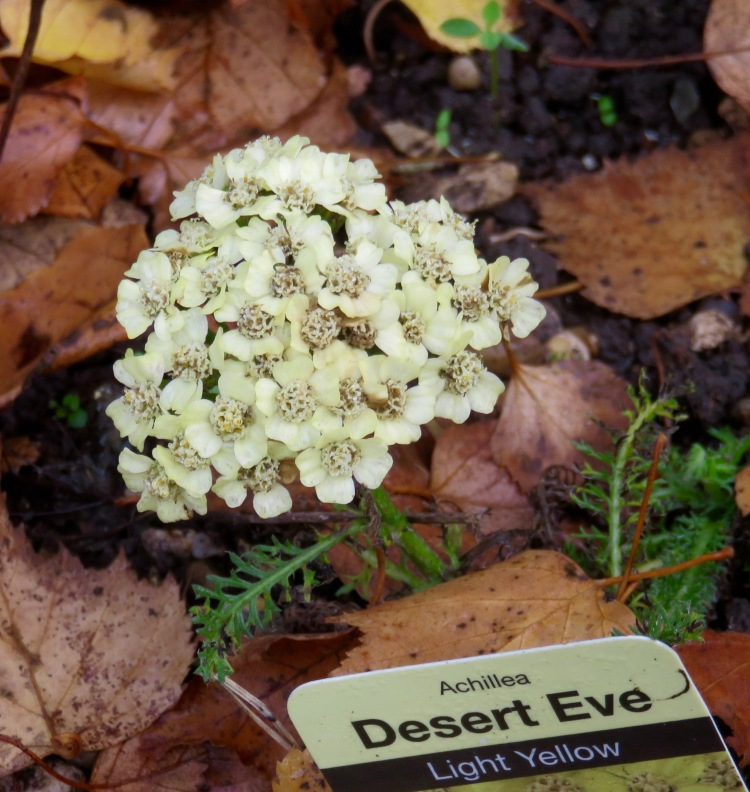Achillea Desert Eve light yellow