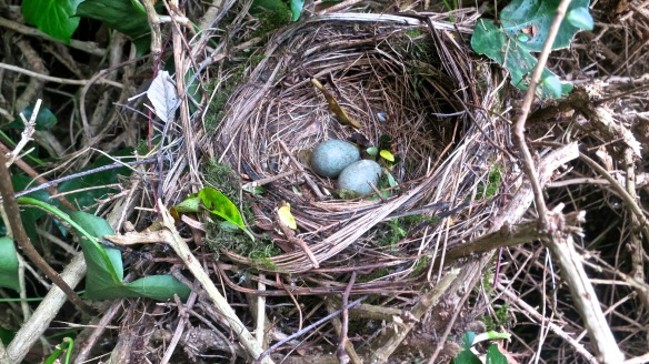 Blackbird's eggs in nest