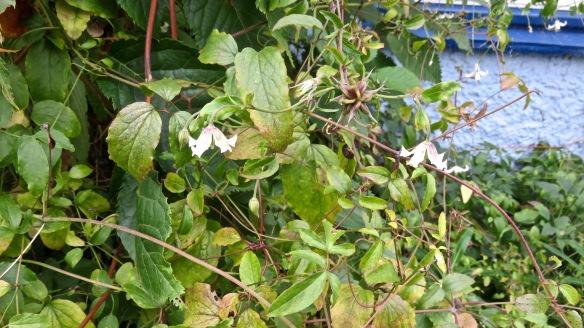 Clematis Campaniflora