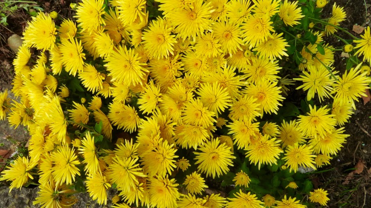 Crysanthemums yellow