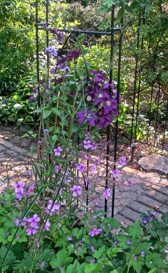 Verbena bonarensis, clematises and geraniums