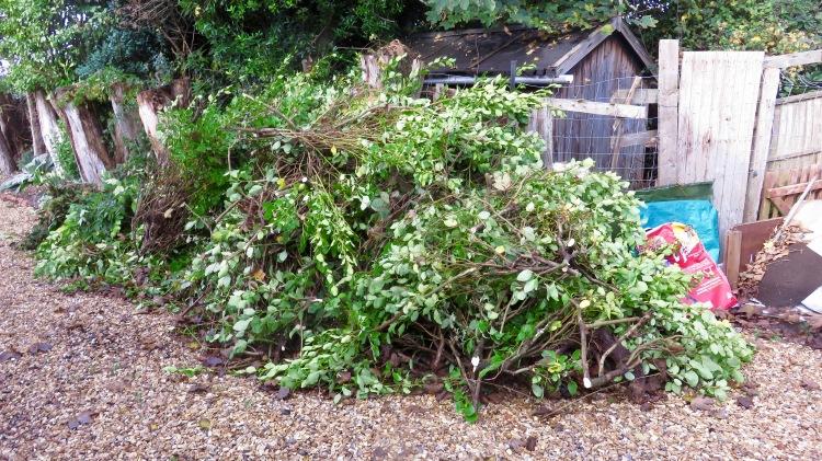 Griselinia cuttings