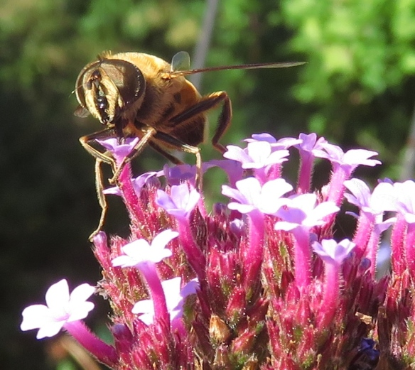Honey bee drinking from verbena bonarensis