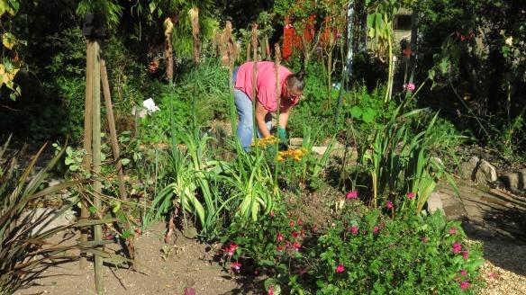Jackie planting chrysanthemums