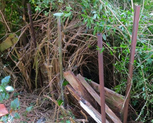 Lonicera hedge far corner