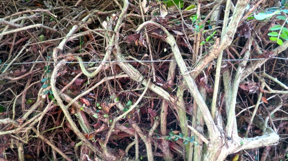 Lonicera tangle