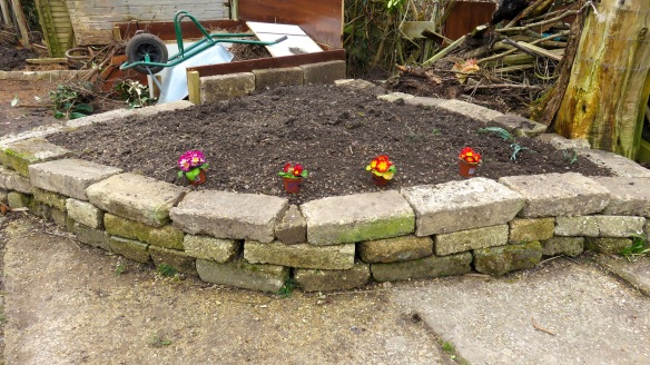 Primulas ready for planting
