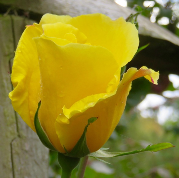 Rose Golden Showers