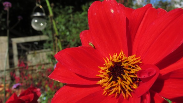 Shield Bug on dahlia Bishop of Llandaff