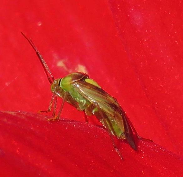 Shield Bug on dahlia Bishop of Llandaff 2