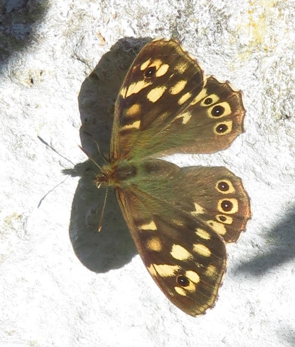 Butterfly Speckled Wood