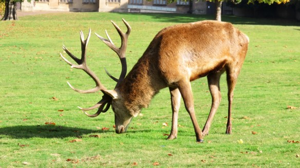 Standing stag 1
