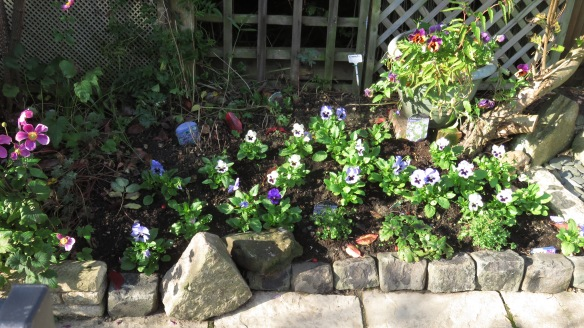 Pansies in patio