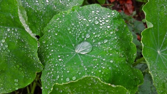 Raindrops on nasturtium leaves