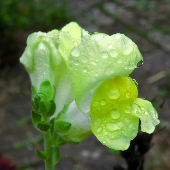 Raindrops on snapdragon
