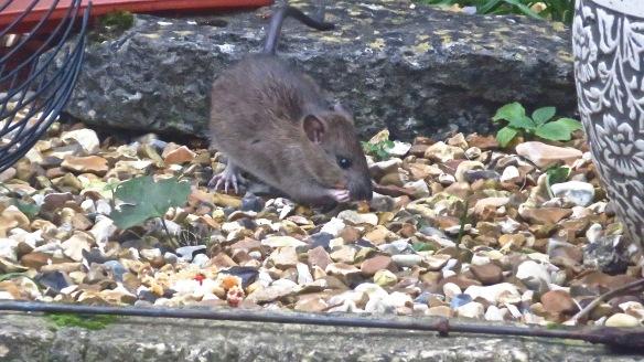 Rat 8