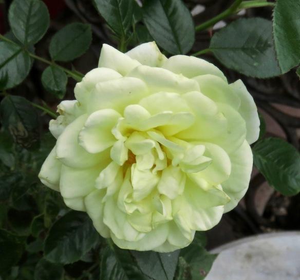 Rose Summertime