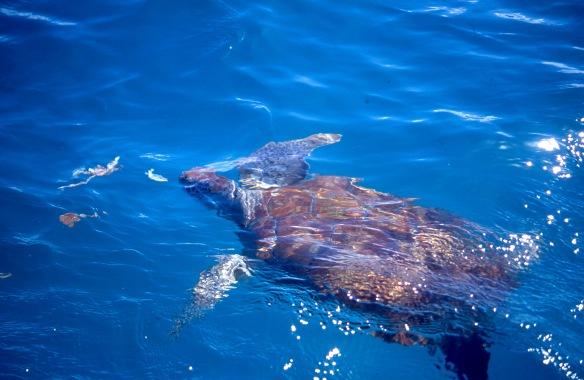 Turtle swimming 2