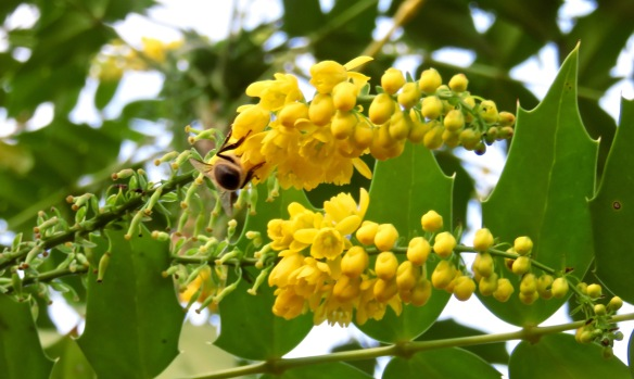 Bee on Mahonia