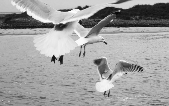 Gulls in flight 2
