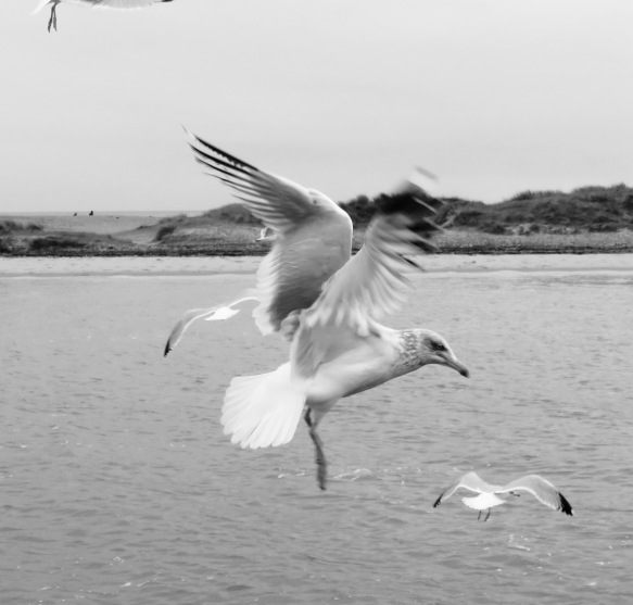 Gulls in flight 3