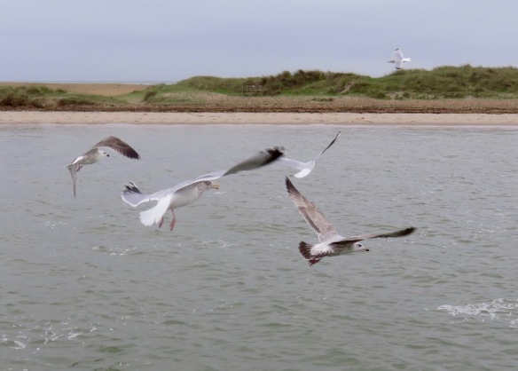 Gulls in flight 4
