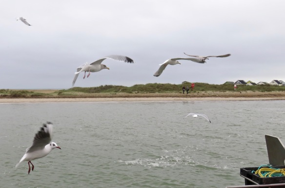 Gulls in flight 5