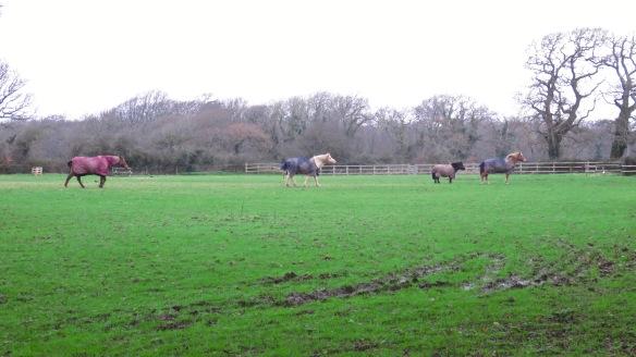 Horses crossing field 1