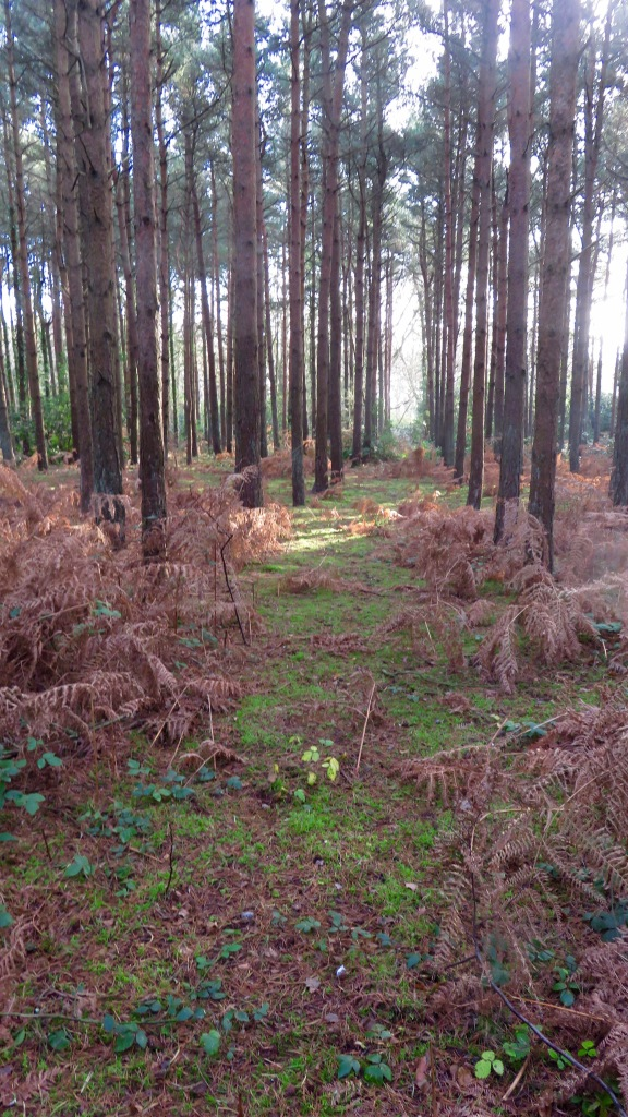 Pines and ferns