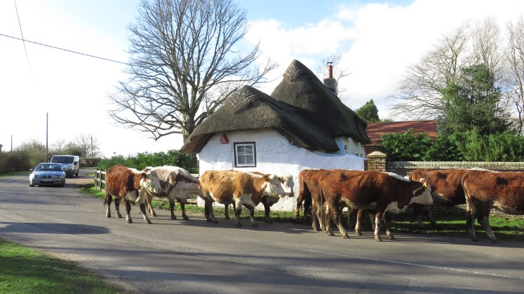 Cattle on road 4