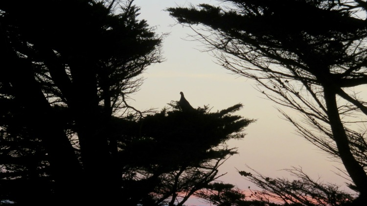 Pigeon in pines