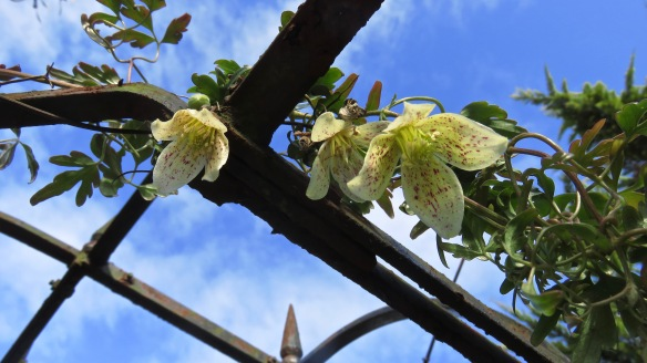 Clematis freckles
