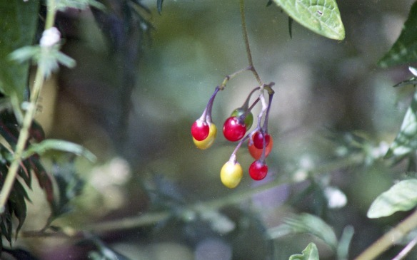 Deadly nightshade fruit