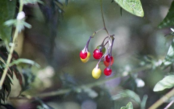 Deadly nightshade fruit