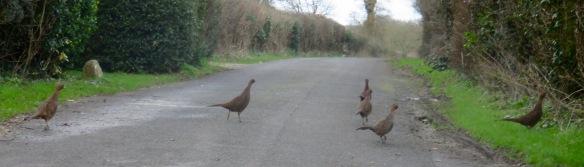 Pheasant hens