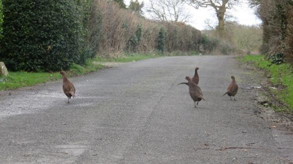 Pheasant hens 2