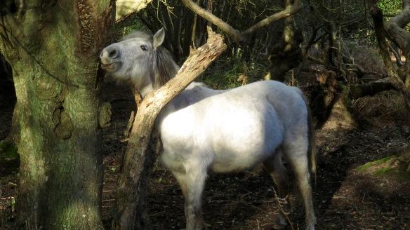 Pony scratching