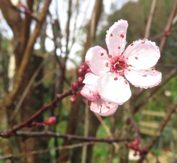 Prunus pissardi 1