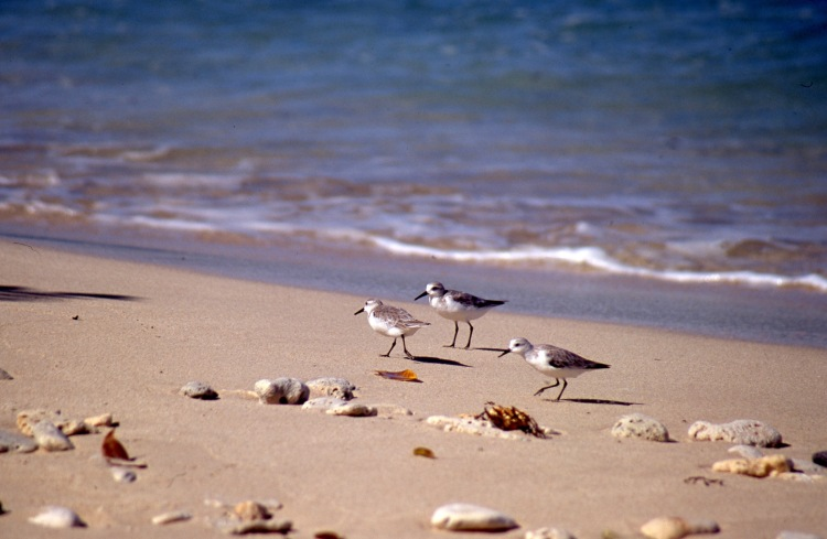 Sandpipers 2