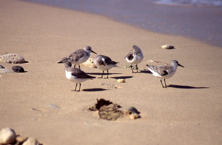 Sandpipers 3